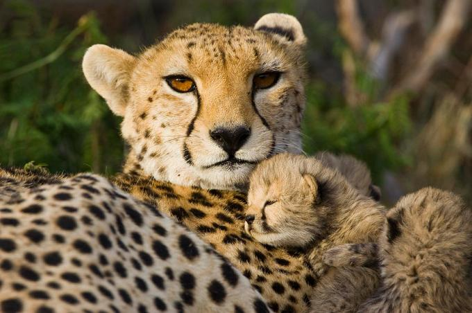 cheetah-acinonyx-jubatus-and-cub-suzi-eszterhas.jpg