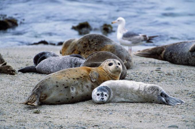harbor-seal-and-young-pup-suzi-eszterhas.jpg